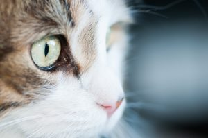 Image of cat's eyes indicating why PawPurity has the best tear stain remover that is 100% natural